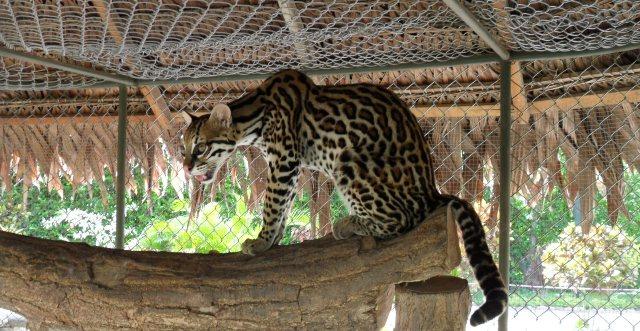 tigrillo-tiger-tarapoto-peru
