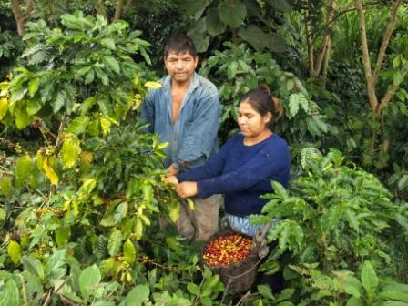 alto-mayo-coffee-harvesting-peru