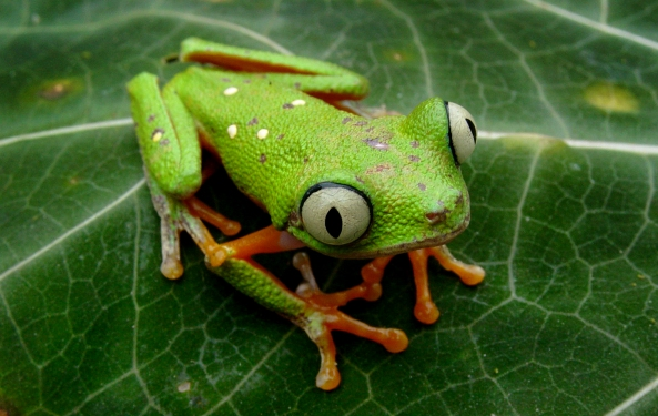 Top 11 Frogs You Won't Find in Tarapoto, Peru