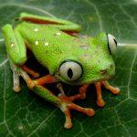 Top 11 Frogs You Won't Find in Tarapoto, Peru